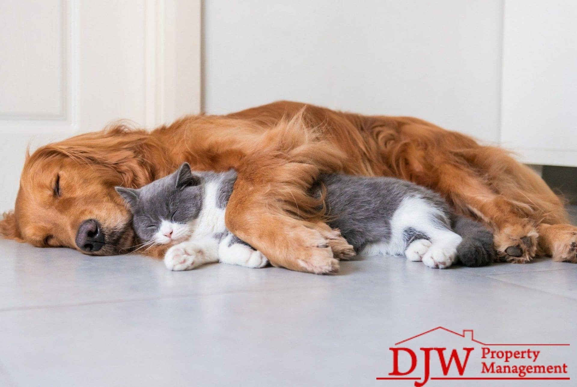 A golden retriever snuggles with a grey and white house cat.