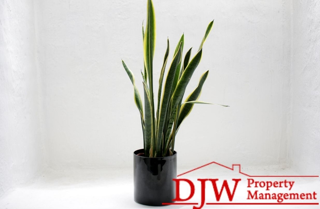 Green and yellow snake plant sitting in a white room